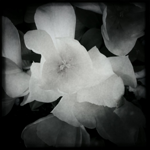 White Tulips photo, by Guacira Naves