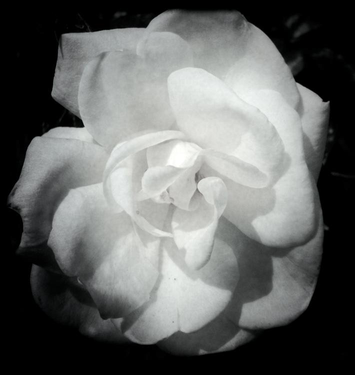 White Rose, by Guacira Naves